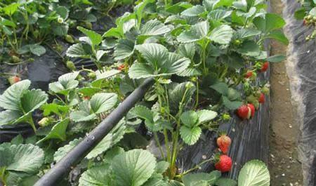 cao莓diguan